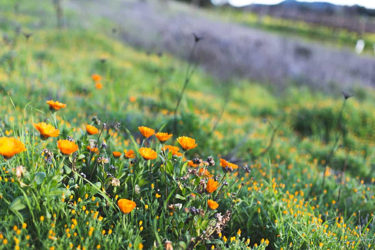 Sonoma County flowers
